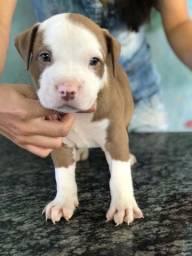 Vende-se filhotes de pitbull 2 machos disponíveis