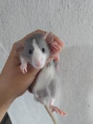 Ratos Twister DUMBOS