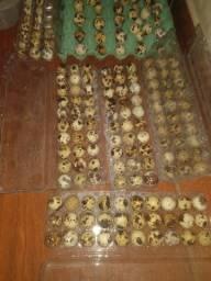 15 Ovos cordorna gigante (  codornao gigante )