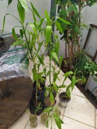 Mudas de bambu da sorte