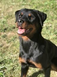 Rottweilers com pedigree - filhotes