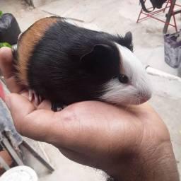 Porquinho da india macho filhote