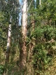 Torra de eucalipto