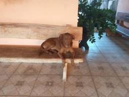 Labrador para doação