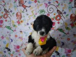 Poodle toy lindos