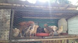 galinhas e pintinhos caipira