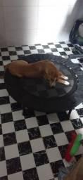 Cachorrinho macho SRD bem cuidado 5 meses