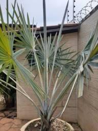 Vendo Palmeira Azul juntamente com vaso