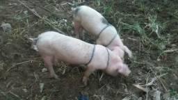 Vendo casal de porcos de 3 meses