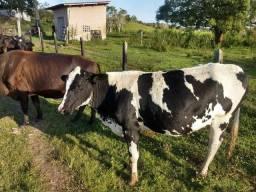 Vendo novilhas e vacas de leite
