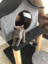 Gato russo azul macho
