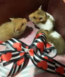 Vendo Hamsters Sírios