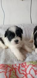 Filhotes de Shitzu com Poodlee, pequeno porte