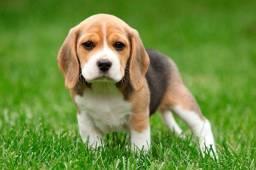 Beagle filhote de pequeno porte, com pedigree e garantia de saúde