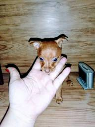 Pinscher Mini