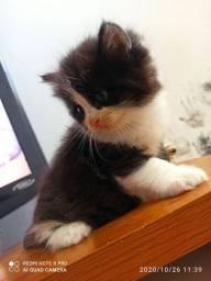 Filhote de gato persa . 45 dias .