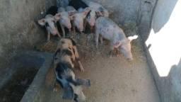 Vdo Porco / Leitoa / Leitão