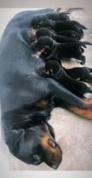 Filhotes de Rottweiler fêmeas