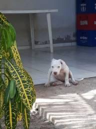 Vendo filhotes de pitbull