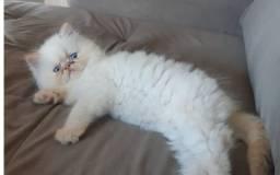 Gato Filhote Persa Himalaya