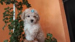 Poodle Fêmea & Machinho Leia .