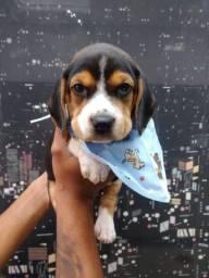 Beagle chamar no whats para informações *