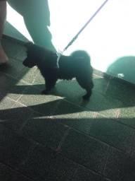 Cachorro Chow Chow Fêmea De 3 Meses