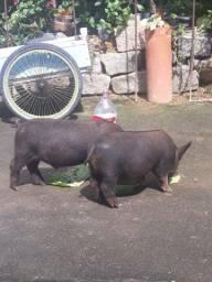 Mini Pig 52 dias