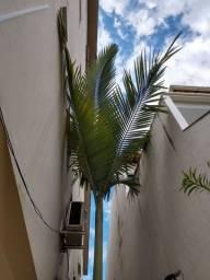 Palmeira de Mais de 3Metros