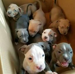 Pitbull filhotes !!!