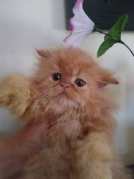 Fêmea persa cor Garfield