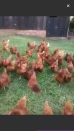 Vendo galinhas poedeiras