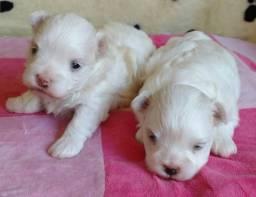 Lindos filhotes de maltês