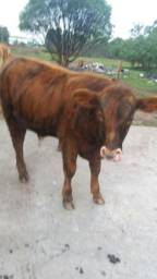 Terneiros red angus
