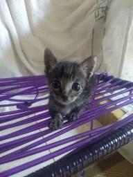 Doação gato filhote macho
