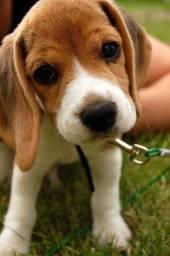 Beagle - Disponivel