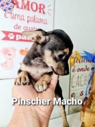pinscher seu companheiro