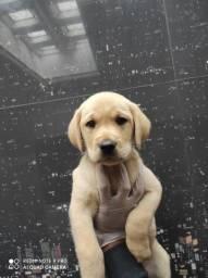 Labrador a pronta entrega venha conferir