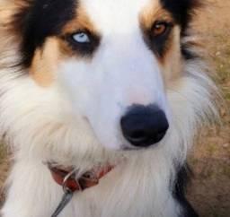 Cachorro BODER COLLIE