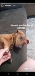 Cachorro basset macho mini