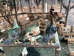 4 frangos disponível nascido mês de junho qualidade e genética