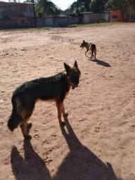 Cachorro pastor alemão disponível para cruzar