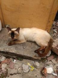Gato chianes