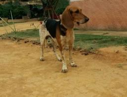 Filhotes beagle com americano fox hound