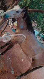 Cavalo pardo, cavalgada