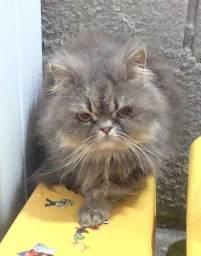Gatos Persa para doação