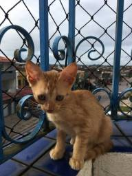 gatinho laranja para adoção
