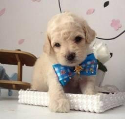Belos filhotes de poodle toy disponível para vc