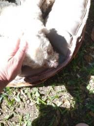 Poodle mini procura namorada