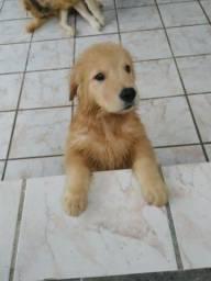 Fotos Atuais - Filhotes Golden Retriever - Venha adquirir o seu melhor amigo(a)!